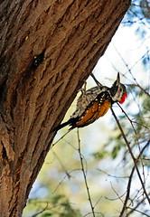 Black-rumped Flameback (NotMicroButSoft (Fallen in Love with Ghizar, GB)) Tags: pakistan bird nature woodpecker wildlife sindh biodiversity blackrumpedflameback thatta halejilake avianfauna