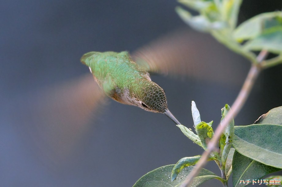 Anna's Hummingbird 122510-2