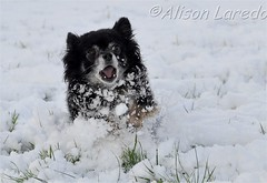Chihuahua running in snow (alison laredo) Tags: ireland dog snow chihuahua running mayo wwwalisonlaredocom
