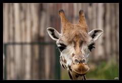 Look me in the eyes... (Ha-Tschi) Tags: germany zoo pentax saxony sigma leipzig sachsen giraffe 70300mm k100d colorphotoaward