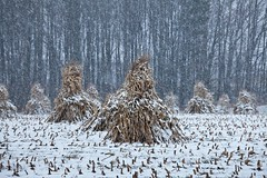 Cornstalks Stacked by Amish Farmer in a Snowstorm (Lee Rentz) Tags: old autumn winter usa snow fall field america season us corn cornfield unitedstates snowy michigan farm labor traditional religion farming seasonal central grain snowstorm harvest greatlakes amish crop repetition cornstalks northamerica americana dried tradition agriculture stacked drying stanwood harvesting woodlot wintery wintry methods