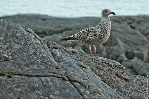 A bird in Lofoten