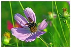 The flight of the Bumblebee (sLorenzi) Tags: flower raw flor panasonic bumblebee mamangava therapee fz18