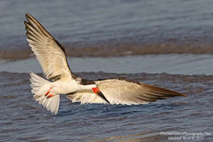 Black Skimmer (Rynchops niger) in Golden Evening Light  1362 (floridanaturephotography) Tags: ocean beach niger wings florida flight coastal skimmer pompanobeach shorebird goldenlight blackskimmer skimming orangebeak rynchopsniger rynchops floridanaturephotography slbflying backskimmer rynchopsnigerrynchopsnigerskimming