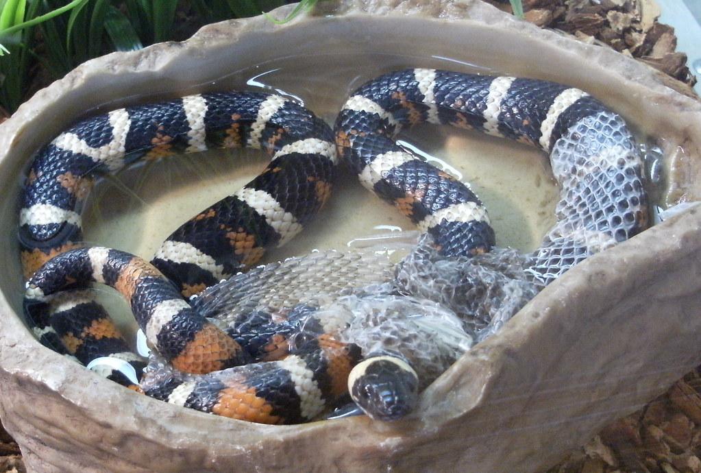 California Mountain King Snake Shedding Its Skin