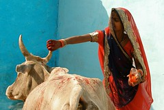 Femme dcorant une vache pour Diwali, Orchha (Inde, India, Philippe Guy) (guy philippe) Tags: voyage travel portrait woman india cow asia femme decoration asie diwali dcoration vache inde orchha philippeguy phguy