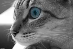 Bitxo Retrato II (Mr.Groka (Gorka Valencia)) Tags: cat retrato kitty gato mascota mascotas bitxo catportrait retratodegato retratogato