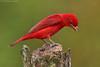 Summer Tanager - male (Piranga Rubra) (Jeluba) Tags: red bird nature canon rouge costarica wildlife ngc aves ornithology birdwatching oiseau tanager tangara summertanager pirangarubra neotropical specanimal avianexcellence tangaravermillon sommertangare birdperfect allofnatureswildlifelevel1 allofnatureswildlifelevel2 allofnatureswildlifelevel3 allofnatureswildlifelevel4 allofnatureswildlifelevel5 allofnatureswildlifelevel8 allofnatureswildlifelevel6 allofnatureswildlifelevel7 allofnatureswildlifelevel9 allofnatureswildlifelevel10