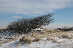 Shaped by the Wind (c.buelow) Tags: surf massachusetts dune ipswich cranebeach krumholtz bonsia ipswichma barrierbeach trusteesofreservations chrisbuelow ttor dryoptera