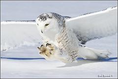 Snowy Owl (Explore) - 20110112-0127 (Earl Reinink) Tags: snow explore raptor owl snowyowl owlinflight snowyowlinflight earlreinink wwwearlreininkcom wwwipaintca