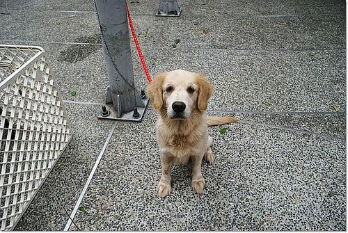「助認養」台中被放養長大的黃金獵犬BoBo弟弟附影片,誠徵醫療助養,如能認養是最好,謝謝您,20110117