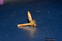 Erection (Ian Yabs) Tags: nature insect funny moth erection