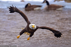 Going to get You (Todd Ryburn) Tags: canon eagle baldeagle iowa raptor mississippiriver eagles raptors baldeagles 2011 800mmf56 canon1dmarkiv lockdam14