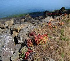 Dudleya farinosa (Kelley Macdonald) Tags: california succulent tomalesbay dudleya dudleyafarinosa wilddudleyafarinosa