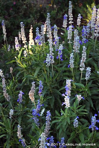 Salvia 'Mealy Blue Sage'