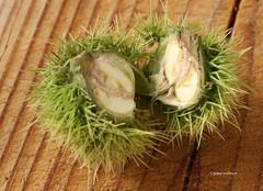 13-IMG_5502 (hemingwayfoto) Tags: eskastanie food frucht kastanie lebensmittel maronen stachelig
