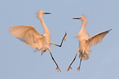 Fight! (bmse) Tags: snowyegret orange county canon 7d2 400mm f56 l bmse salah baazizi wingsinmotion
