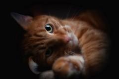 Pussycat (ddimblickwinkel) Tags: katze cat tamron nikon bearbeitet tier tiere animal art portrait d300 d300s