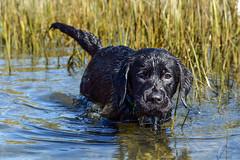 miles_f (bmullaney1) Tags: black labrador dog retriever lab