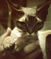 miss twiggy (hanna.bi) Tags: show venice cat devon rex twiggy hannabi thelittledoglaughed
