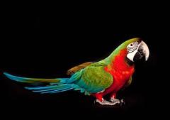 Indy on black (edwindejongh) Tags: bird studio feathers indy colourful ara vogel veren colourexplosion catvertise ingridipenburg