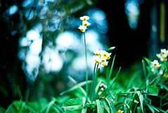 snowy flowers (moaan) Tags: life leica winter flower digital 50mm flora dof bokeh january f10 utata m8 flowering noctilux wildflower narcissus 2011 inlife leicam8 leicanoctilux50mmf10 gettyimagesjapanq1 gettyimagesjapanq2