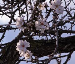 Flores de almendro (ibzsierra) Tags: flower canon flor ibiza 7d agnes eivissa baleares almendro digitalcameraclub santainesdecurona