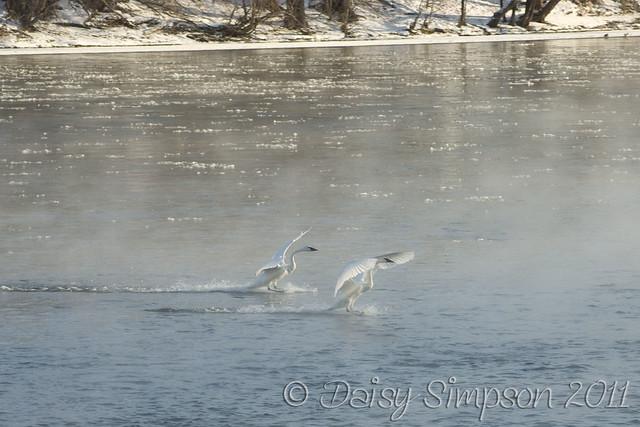 landing swans 1