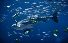 Whale Shark Swimming (mjkjr) Tags: blue atlanta ga georgia rebel aquarium underwater dof bokeh atl handheld georgiaaquarium whaleshark canondslr f28 highiso selectivefocus 2011 1755mm canonlenses oceanvoyager t2i clubsi ef1755mmf28isusm 1202011 mjkjr httpwwwflickrcomphotosmjkjr