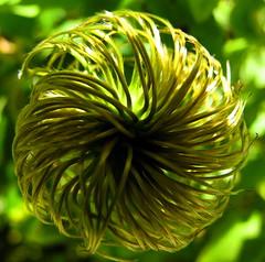 Wheely (:Linda:) Tags: flower green texture germany village clematis thuringia faded grn withered circular verblht verwelkt naturaltexture gartenblume resembling hnlich brden