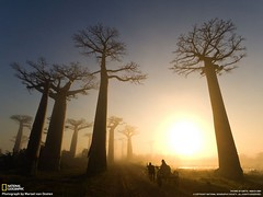 Madagascar—Sunrise reveals light traffic—a lone oxcart—along the Avenue of the Baobabs, Visions of Earth (National Geographic, Mar 2009)