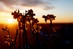 Flowers in sunset (Explore) (Zdenko Zivkovic) Tags: flowers sunset sun window clouds sweden bokeh s explore solna beyondbokeh