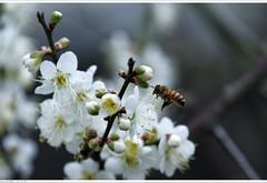 bee and plum  (*dans) Tags: plum taiwan bee miaoli   yuanxiao    kitchengod  yuanxiaofestival  glutinousriceball    welcomekitchengod