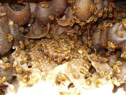 Potes de mel e pólen junto do ninho