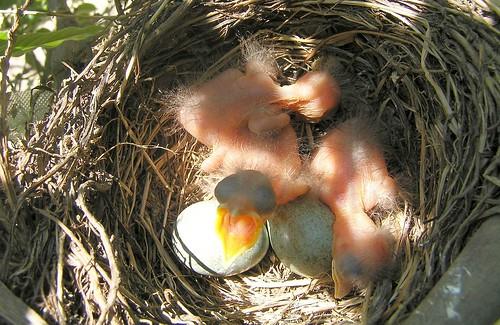 Amsel-Babys (Turdus merula)