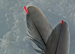 "Cedar Waxwing ""Drops"" (Bonnie Ott) Tags: feather cedarwaxwing ice snow bird bombycillacedrorum waxwing bonniecoatesott"