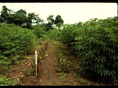 Cassava alley cropping system (IITA Image Library) Tags: cassava manihotesculenta alleycroppingsystem