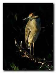 Yellow Crowned Night Heron (Nature Photos by Scott) Tags: wild bird heron birds florida wildlife birding sanibelisland wildliferefuge nwr yellowcrownednightheron dingdarlingnwr scotthelfrichphotographycom