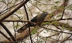 Blue faced Malkoha (Gurusan2010) Tags: birds tamilnadu tenkasi bluefacedmalkoha phaenicophaeusviridirostris tamilnadubirds