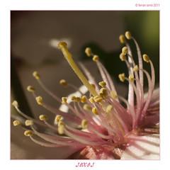 Sexes (Ferranet) Tags: flower macro flor olympus pistil stamen estas almendro e510 pistilo ametller estambres extensionrings om50mmf18 anillosdeextensión anellesdextensió