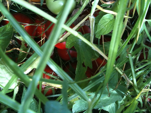 Tomatoes in the grass!!