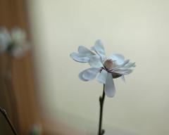 forced (nosha) Tags: usa flower beautiful beauty newjersey nj magnolia fading february 2010 lightroom nikond200 nosha nikoncorporation noshalikes 0mmf0 1350secatf12