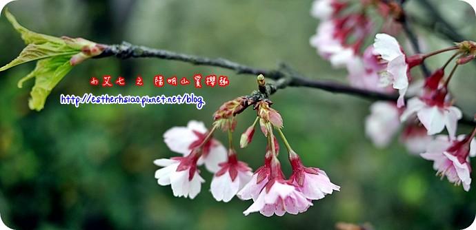 73 平菁街42巷櫻花樹