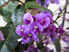 Purple Coral Pea