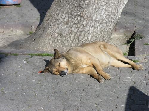 Istanbul dog