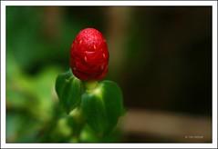 IMG_8805 (Doubletee) Tags: red flower macro green fleur geotagged hawaii dof oahu bokeh flor kaneohe 花 blume fiore botanicalgarden bloem цветок λουλούδι hoomaluhiabotanicalgarden canonef100mmf28macrousm