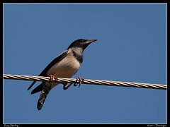Rosy Starling (Tharangini) Tags: sky bird canon wire bangalore starling perch rosystarling