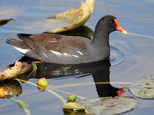 Common Moorhen 20110214