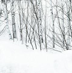 snow and birches