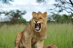 Living with the lions (yuyu418) Tags: africa wild elephant nature animal animals cub centre lion conservation center lions zimbabwe wildanimal lioness alert lioncub antelopepark wildanimals rehabilitation gweru